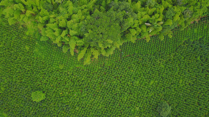 Vista aérea de cultivo de cafe con guadua