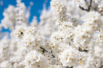 White flower on brunch. Blooming spring tree and sky. Cherry tree in spring time.Sakura bloosom close up in sunny day. Season background with nature. Botanical backdrop.