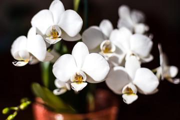 White orchid isolated on black background, Phalaenopsis flower