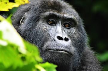 Mountain gorilla, Uganda Fototapete