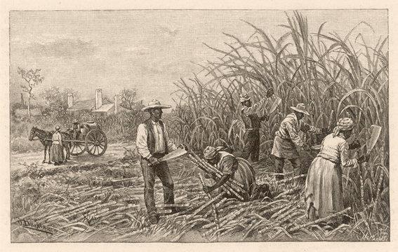 Cutting Cane, Louisiana