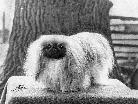 Fall Pekingese 1966