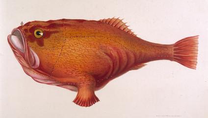 Red Angler Fish 1849