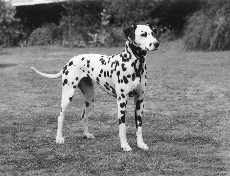 Dalmatian 1977