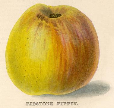 Ribstone Pippin Apple