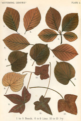 Beech, Lime, Ivy Leaves