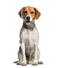 Wall Mural - Beagle, 2 years old, sitting in front of white background