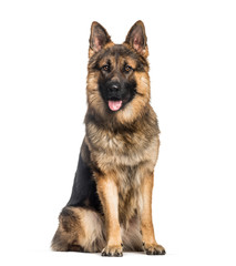 German Shepherd, 1 year old, sitting in front of white backgroun