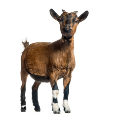 Wall Mural - Young Goat, 4 months, standing in front of white background
