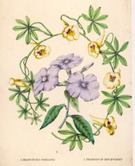 Tropaeolum Franciscea