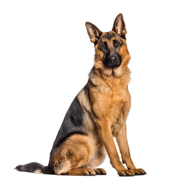 German Shepherd sitting in front of white background