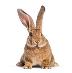 Wall Mural - Flemish Giant rabbit, 6 months old, in front of white background