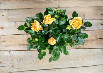 Yellow roses on a wooden background in flower pot