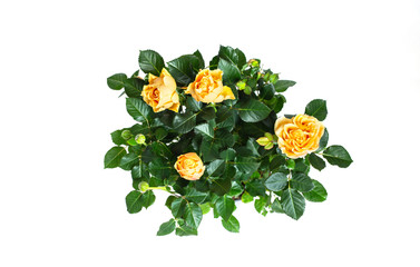 Yellow roses on a Isolated white background in flower pot.