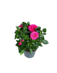 Pink roses on a Isolated white background in flower pot
