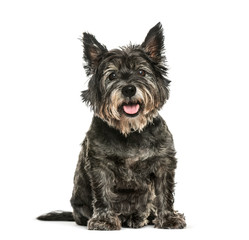Wall Mural - Cairn Terrier sitting in front of white background