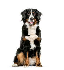Fototapete - Bernese Mountain Dog sitting in front of white background