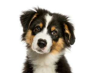 Wall Mural - Australian Shepherd, 4 months old, in front of white background