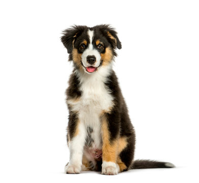 Australian Shepherd, 4 months old, sitting in front of white bac