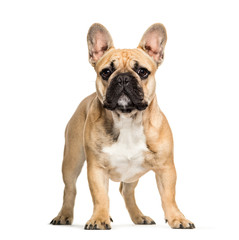 Foto op Plexiglas Franse bulldog French Bulldog, 6 months old, in front of white background
