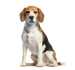 Wall Mural - Beagle sitting in front of white background