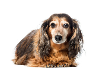 Wall Mural - Old Dachshund ,badger dog, sausage dog, wiener dog lying in front of white background