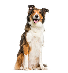Fototapete - Scotch Collie sitting in front of white background