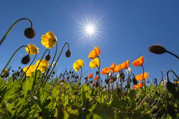 Wonderful Icelandic poppies or Papaver Nudicaule