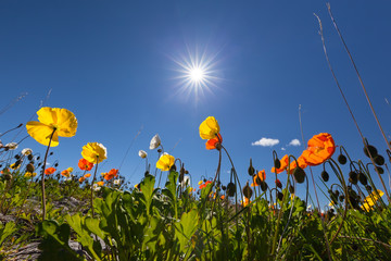 Beautiful Icelandic poppies or Papaver Nudicaule