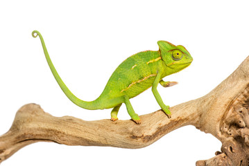 Chameleon, Chamaeleo chameleon, on branch in front of white back