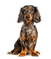 Dachshund, Sausage dog sitting in front of white background