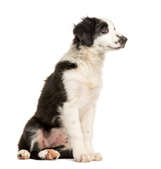 Border Collie, 2 months old, sitting in front of white backgroun