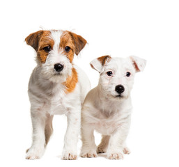 Jack Russell Terrier, 3 months old, in front of white background