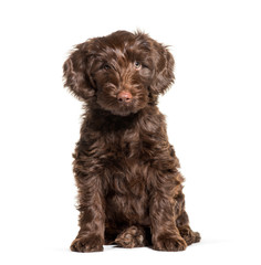 Australian Labradoodle, 2 months old, sitting in front of white