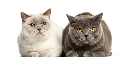 British Shorthair lying in front of white background