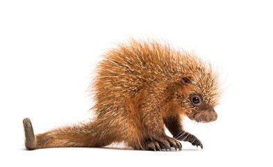 Wall Mural - Pup prehensile-tailed porcupine, Coendou prehensilis, isolated, 15 days old