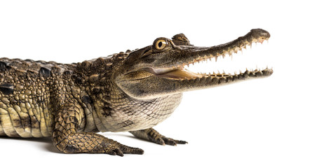 Photo sur Plexiglas Crocodile West African slender-snouted crocodile, 3 years old, isolated