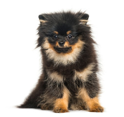 Spitz dog, 5 months old, sitting in front of white background