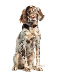 Wall Mural - English Setter, 6 months old, sitting in front of white backgrou
