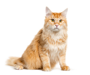 Mixed-breed cat sitting in front of white background