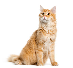 Maine Coon, 8 months old, sitting in front of white background