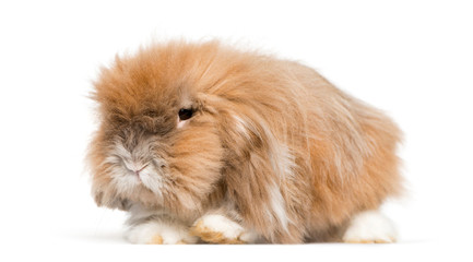 very furry rabbit lying in front of white background