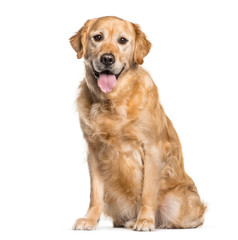 Wall Mural - Golden Retriever sitting in front of white background