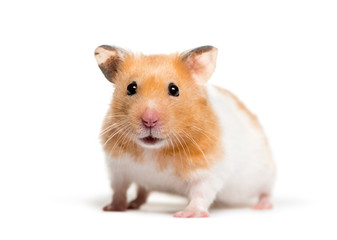 Wall Mural - Golden Hamster in front of white background