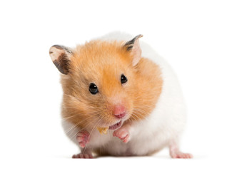 Golden Hamster feeding in front of white background