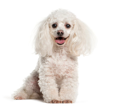 Tea cup Poodle sitting in front of white background