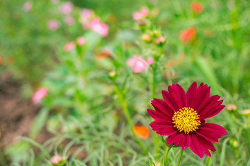 Closeup Cosmos flower. Red cosmos flower with green leaves background