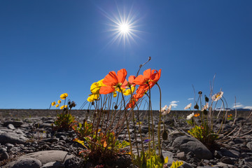 Lovely Icelandic poppies or Papaver Nudicaule