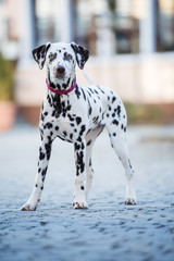 Young dalmatian dog standing on a street