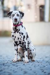 Dalmatian dog sitting in a pedestrian zone